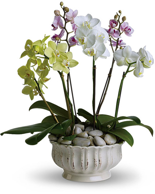 A trio of colorful orchids is an elegant way to wish someone well. Presented in a beautiful white ceramic planter are three miniature Phalaenopsis orchid plants. The white, lavender and green orchids sit peacefully in a bed of smooth, Zen river rocks.