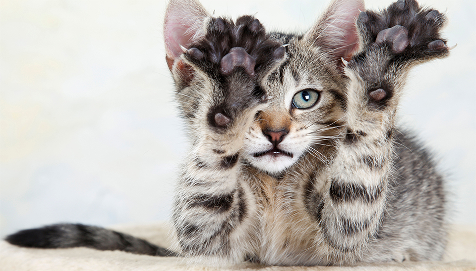 The Purrdy Paws Alternative to Declawing