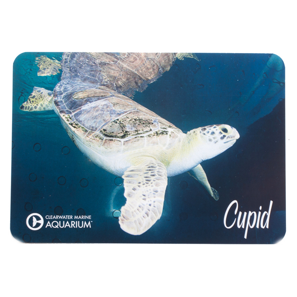 Cupid the Sea Turtle Postcard