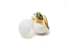 Marine Life Rescue Project Sea Turtle Hatchling Egg