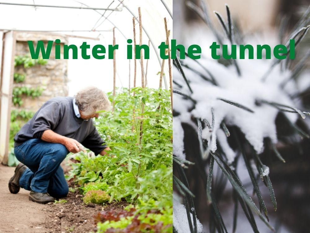 What to plant in your polytunnel in winter