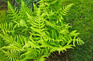 ​The Soft Shield-fern Learn More About the Polystichum setiferum