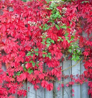 Virginia Creeper Plants