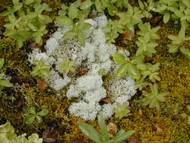 ​The Advantages Of Planting Reindeer Moss