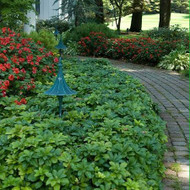 Ground Cover Vines Many Benefits in Landscaping