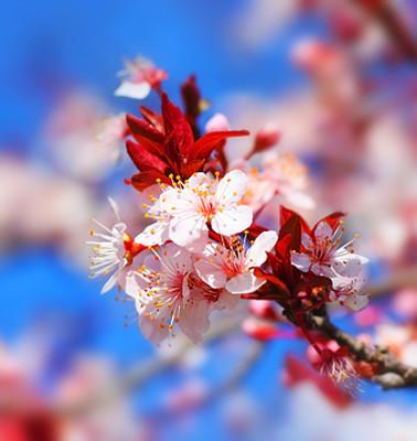 Japanese Cherry Blossom Fragrance Oil Bulk Apothecary