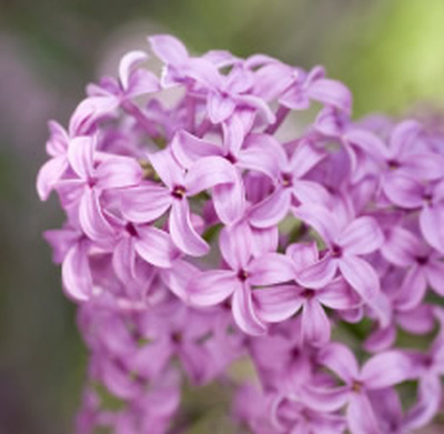 Lilac Lilies Fragrance Oil Buy Wholesale From Bulk Apothecary