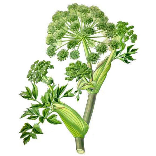 angelica essential oil therapia by aroma