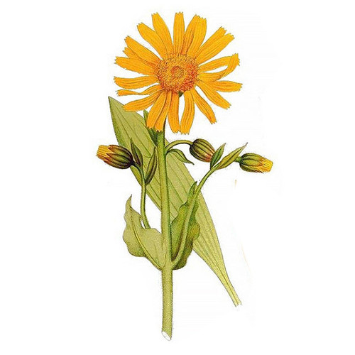 arnica essential oil therapia by aroma