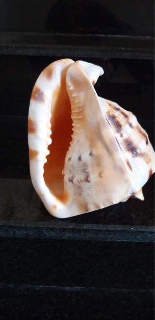 Cham Islands featured shells 002