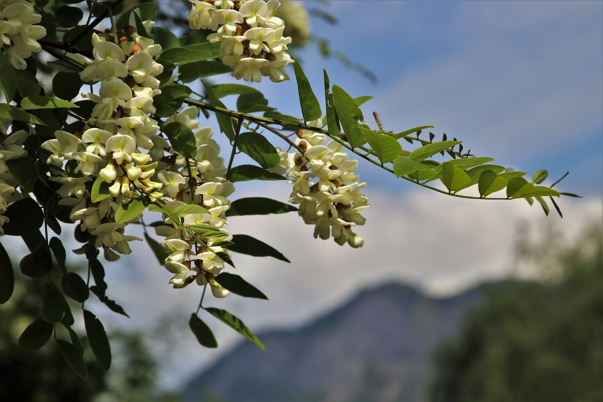 acacia-3391842-1920.jpg
