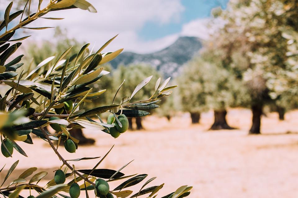 olive-tree-2.jpg