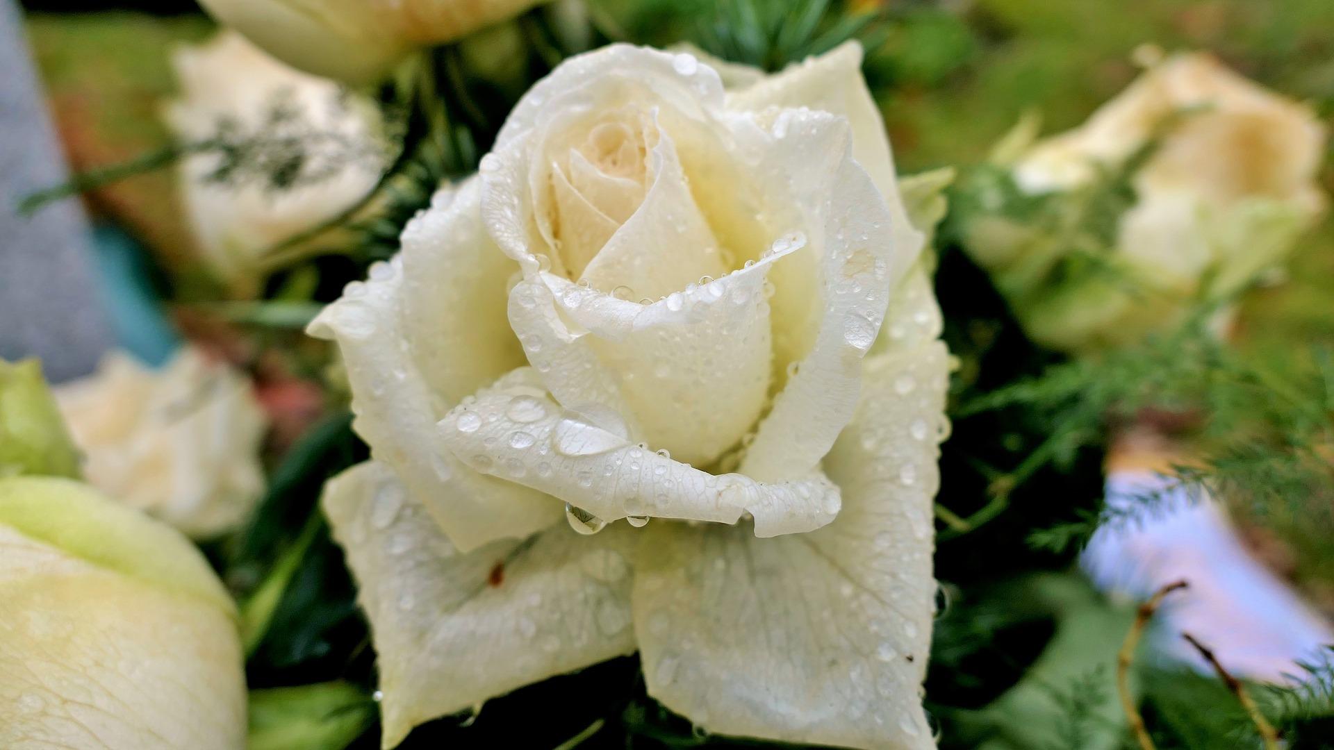 rose-3895368-1920.jpg