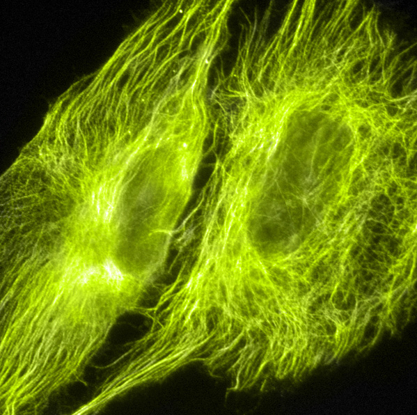 microtubules-color.png