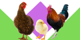 Chickens, Chicks and Poultry