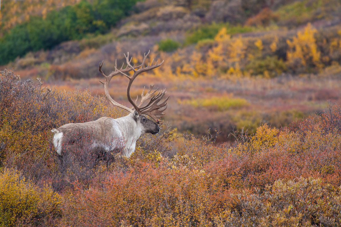 What to Know About Caribou Hunting