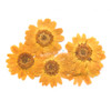 Yellow Daisy Flower Pressed Dried Real Flowers (5 pieces)