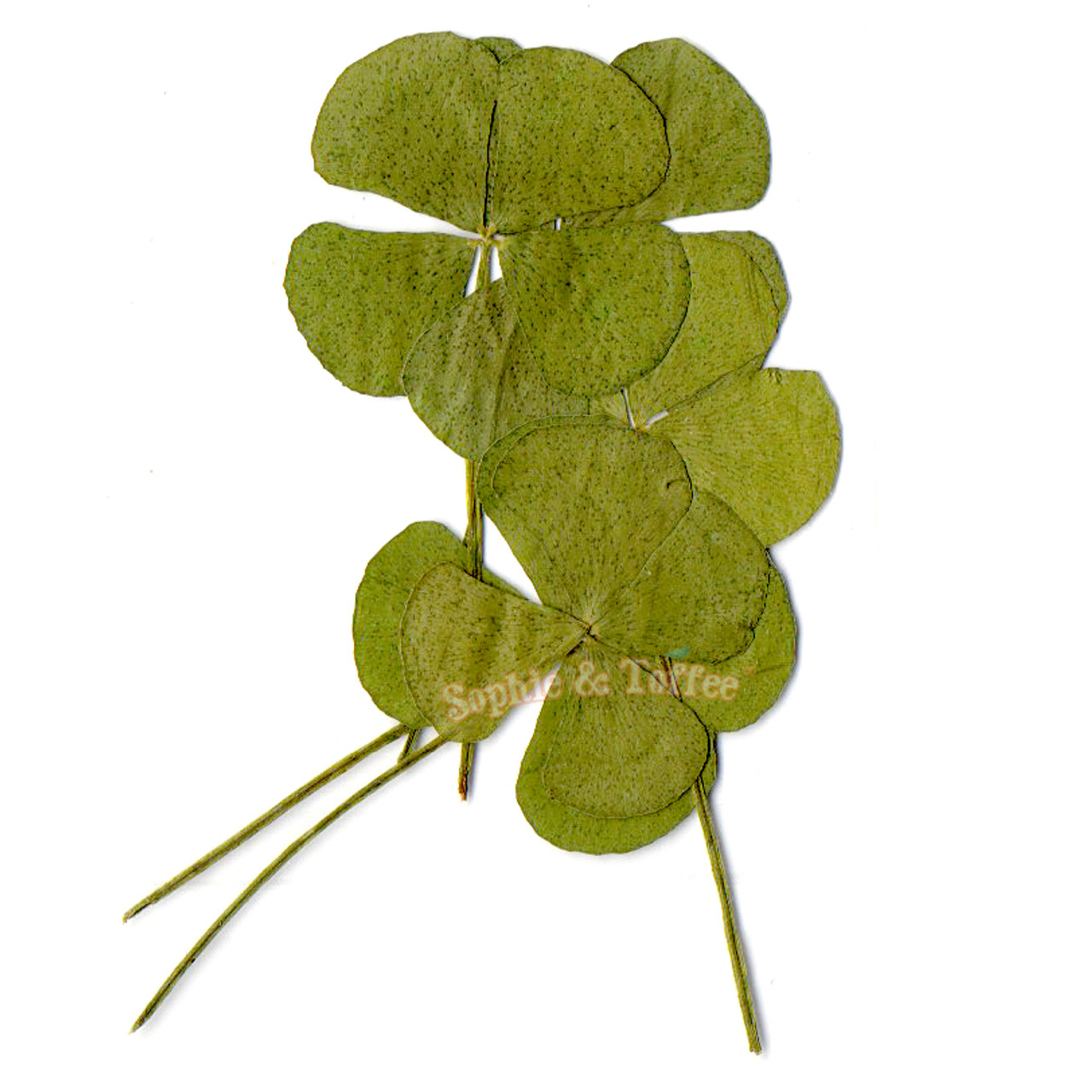 Clover Leaf Pressed Real Dried Leaves Pressed Flower Dried Flower Resin Flower Flower For Resin Craft Japanese Flower Flower For Crafting Flat Flowers