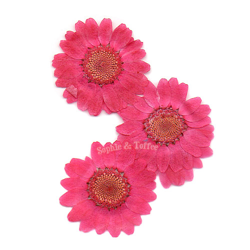 Hot Pink Daisy Pressed Real Dried Flowers (6 pieces)