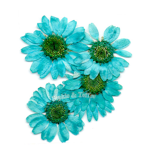 Turquoise Daisy Pressed Real Dried Flowers (6 pieces)