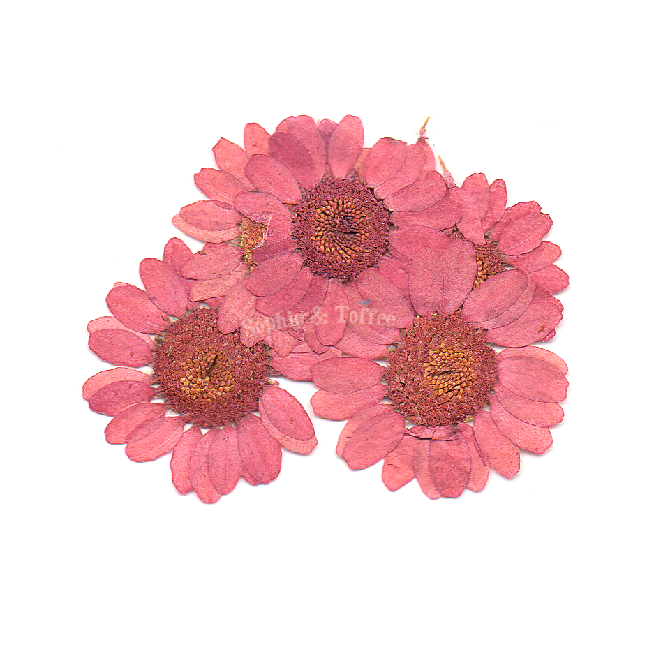 Pink Daisy Pressed Real Dried Flowers Pressed Flower Dried