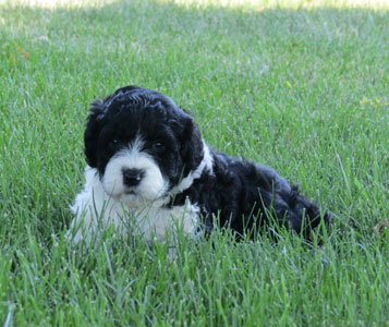 Portugese Water Dog