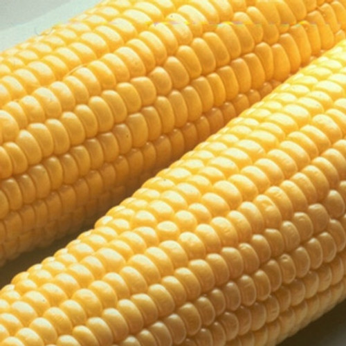 Bodacious Sweet Corn Seeds