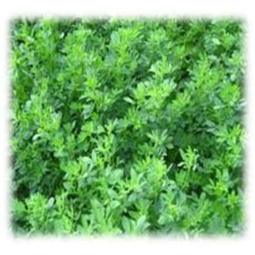 GA 378 Wetland Alfalfa - Perennial (Coated & Pre-Inoculated)
