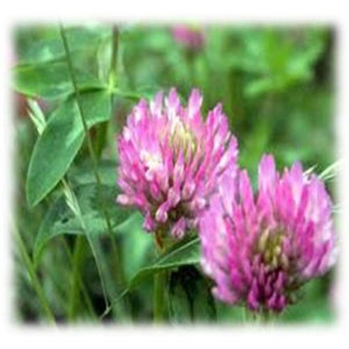 Gallant Red Clover - Perennial (Coated & Pre-Inoculated) **OUT OF STOCK**