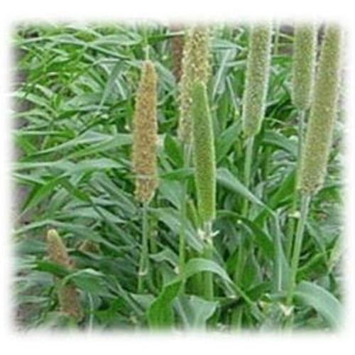 Hybrid Pearl Millet - Annual