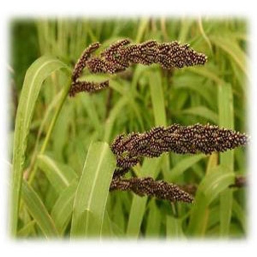 Japanese Millet Seeds - Annual