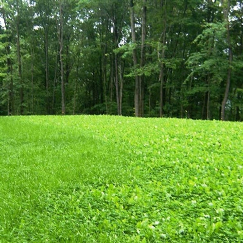 Medium Red Clover & Chicory - Perennial (Coated & Pre-Inoculated)