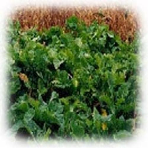 Maris Kestrel Kale Annual | Garden Seeds | Merit Seed