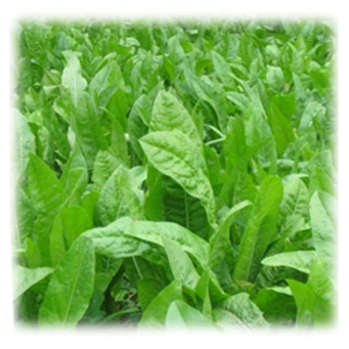 Oasis Forage Chicory Perennial | Wildlife Food Plot | Merit Seed