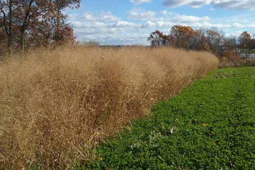 Switchgrass - Perennial