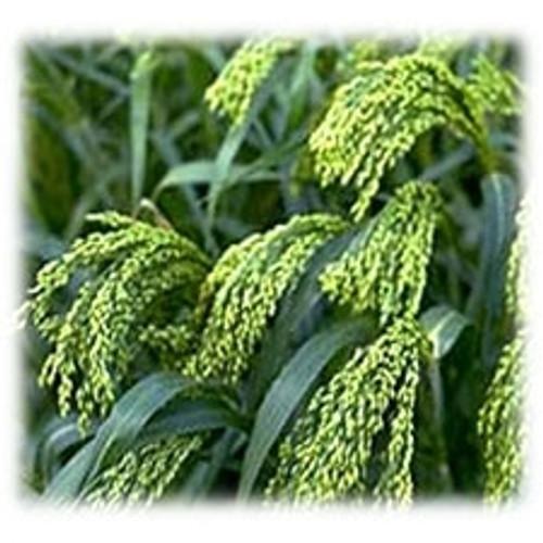 White Proso Millet - Annual