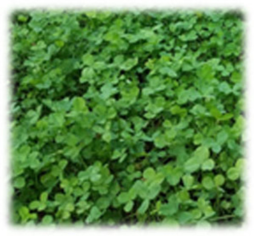 AberLasting Clover - Perennial (Coated & Pre-Inoculated)