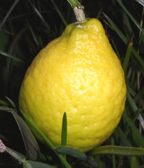 Japanese Lemon (Ujukitsu) grown by ChefsFarm Orchard in north Houston - Spring / Woodlands / Conroe