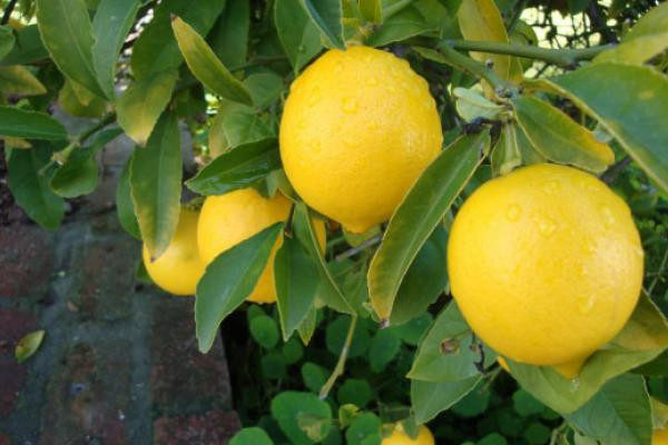 Meyer Lemon grown by ChefsFarm Orchard in north houston - Spring / Woodlands / Conroe