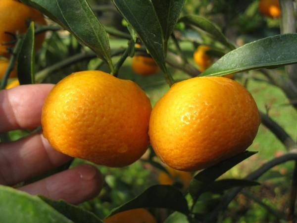 Kishu Seedless Mandarins