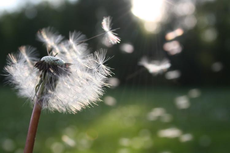 dandelion2-nature-sunlight-54300.jpg