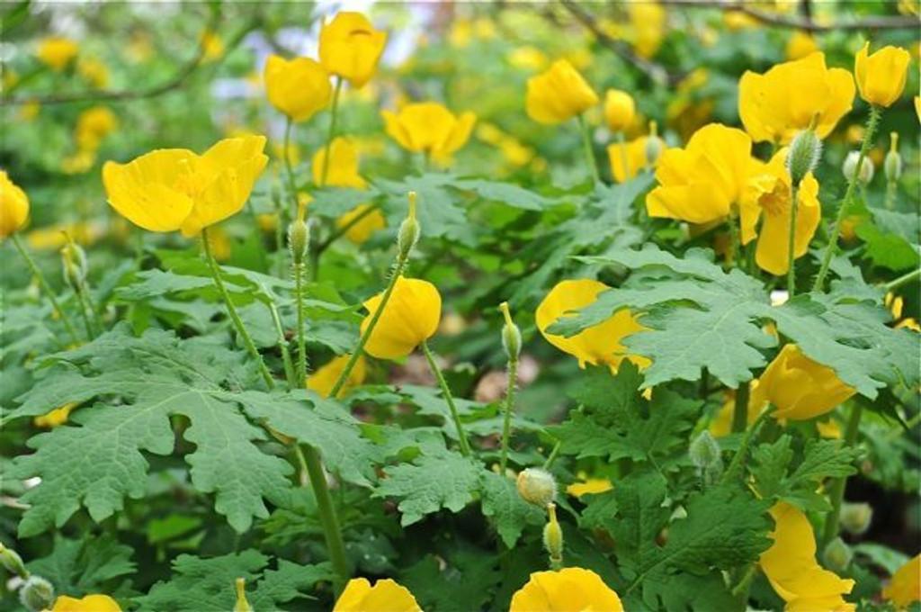 Yellow Wood Poppy