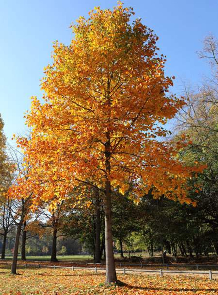 tulip poplar tree in fall