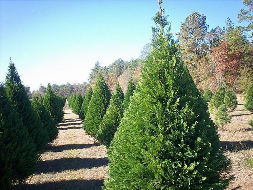 Virginia Pine Tree Growing