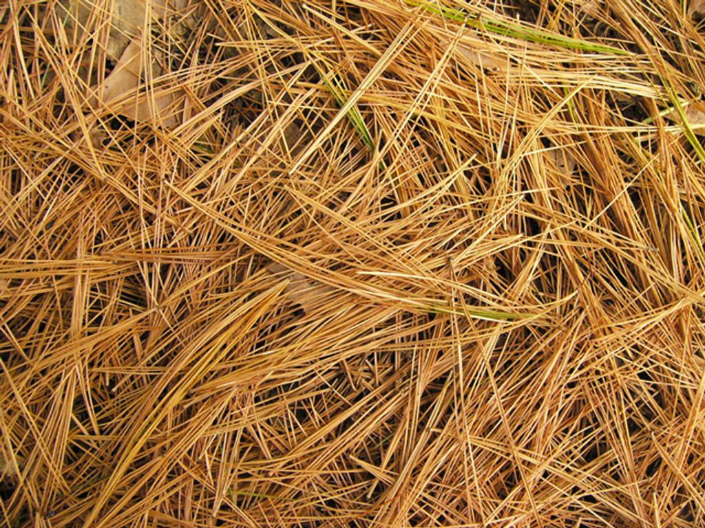 Pine Straw
