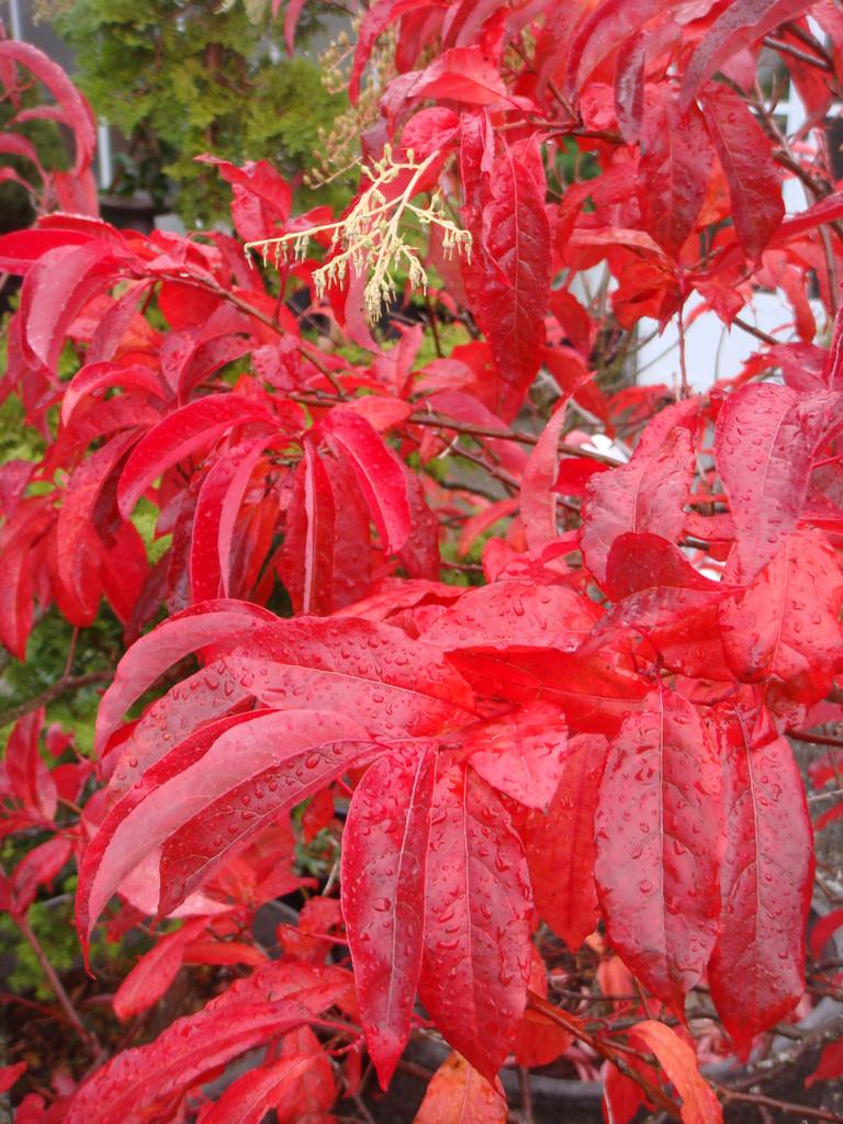 Sourwood Leaves