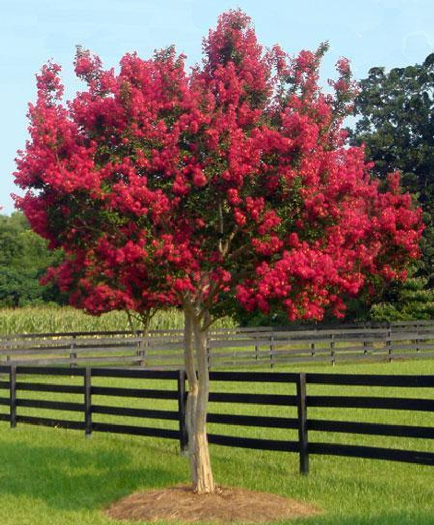 Red Crepe Myrtle 4-5'