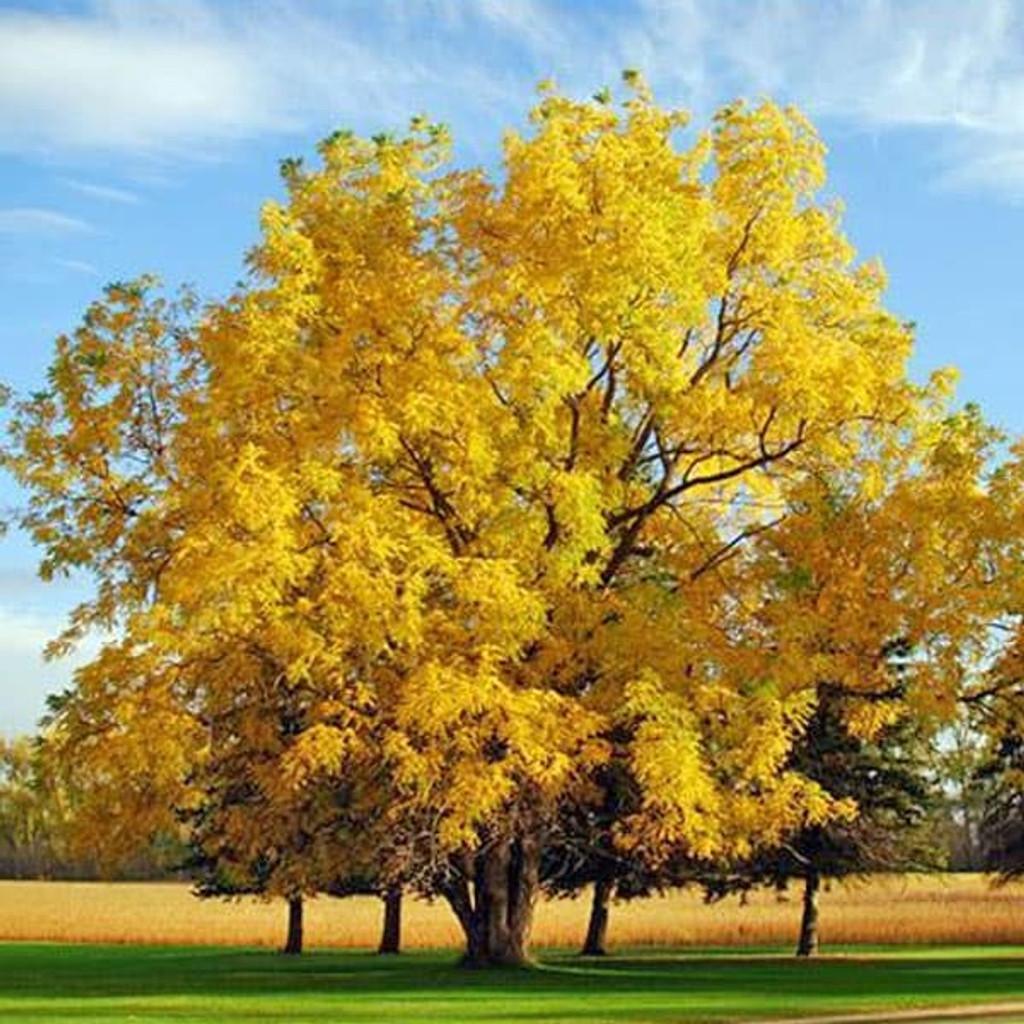 Fall Foliage Black Walnut