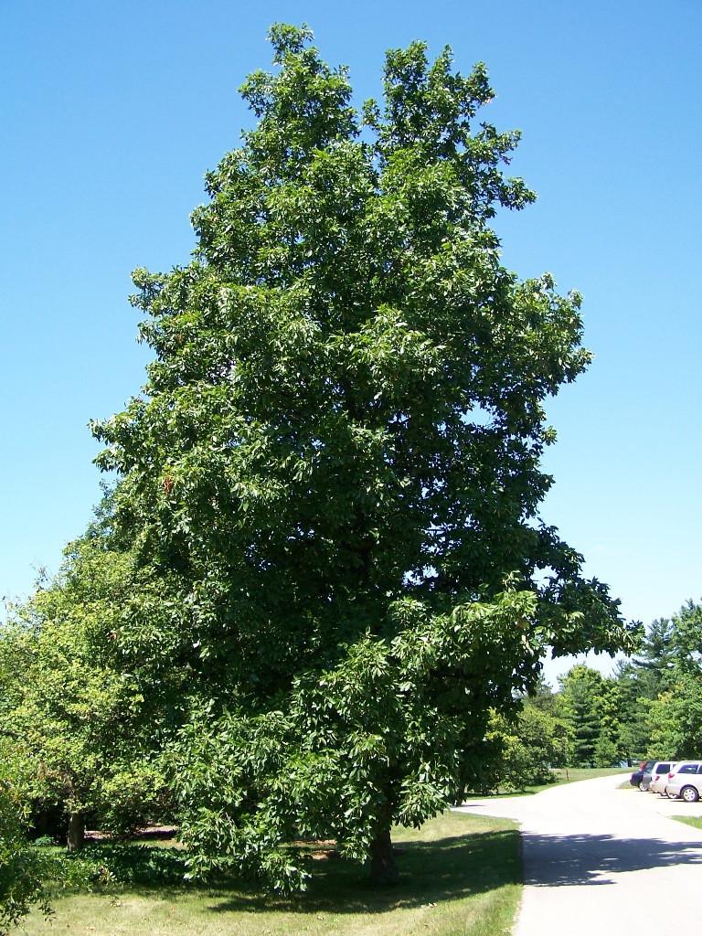Hickory Tree