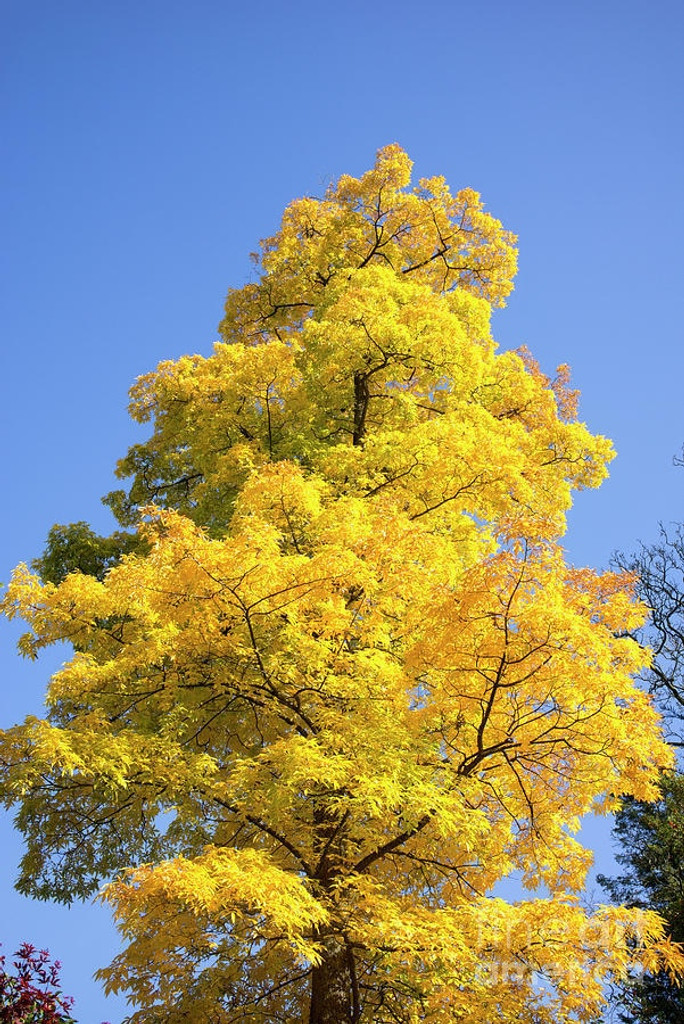 Hickory Tree in the Fall